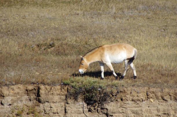 Cheval mongol - Photo