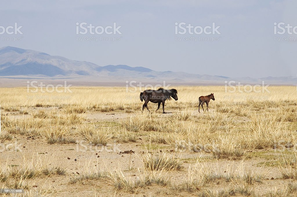 Mongolian horses are grazing on the steppe royalty-free stock photo