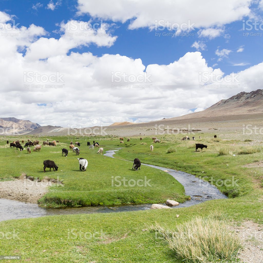 Mongolian landscape with livestock grazing on the green pasture stock photo