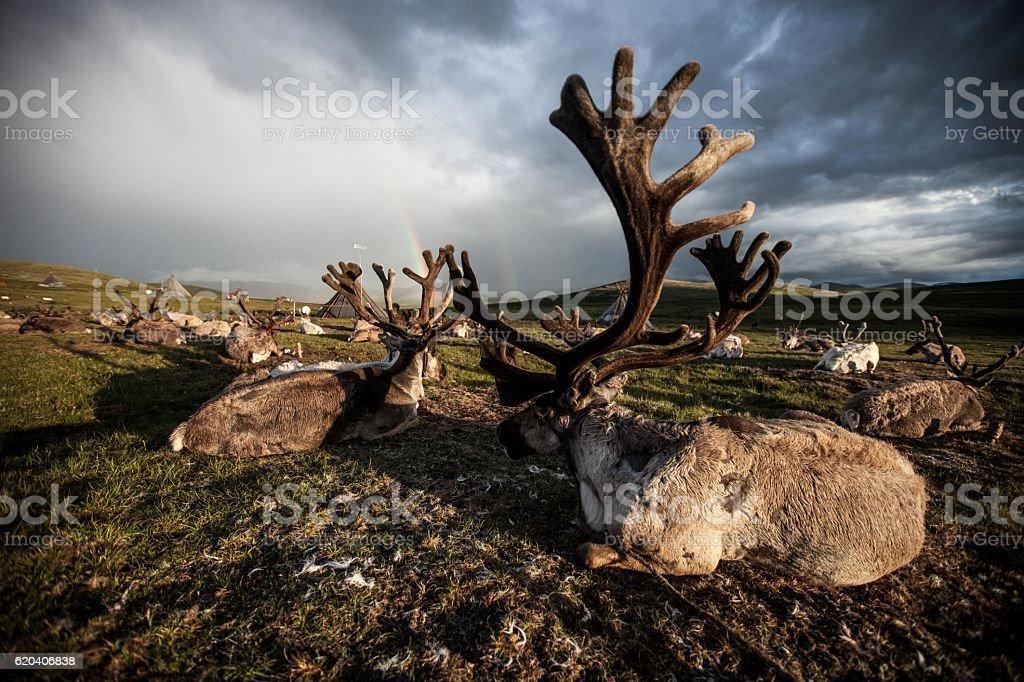 Mongolian Reindeers and double rainbow stock photo