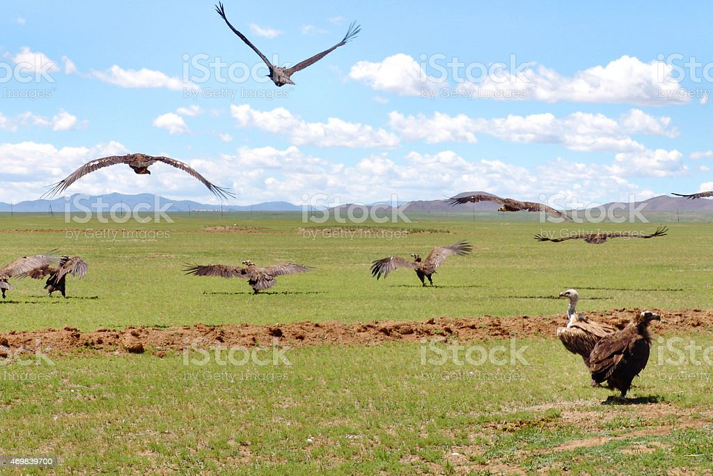 Mongolian vultures in the wild Mongolian vultures in the wild. 2015 Stock Photo