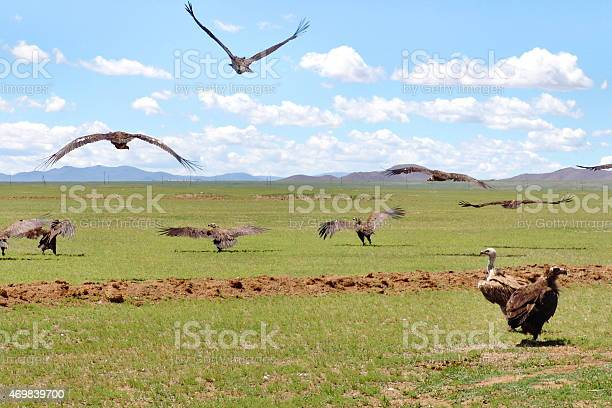 Mongolian Vultures In The Wild Stock Photo - Download Image Now