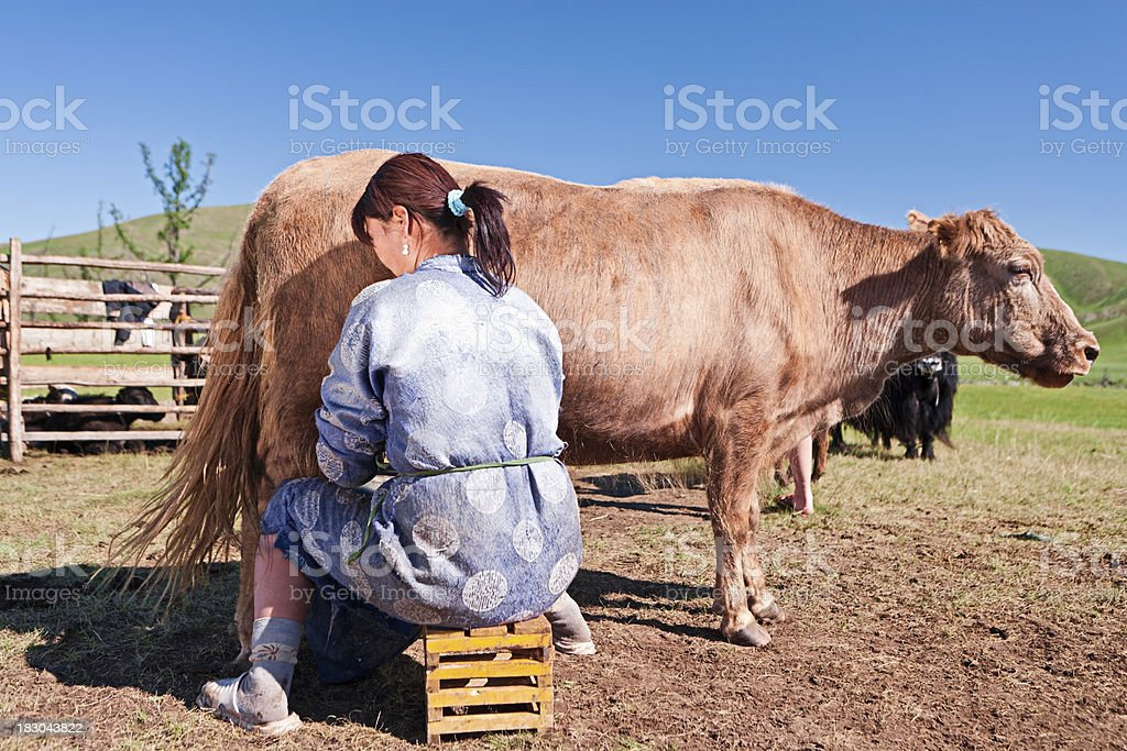 Mongolian woman in national clothing milking a yak royalty-free stock photo