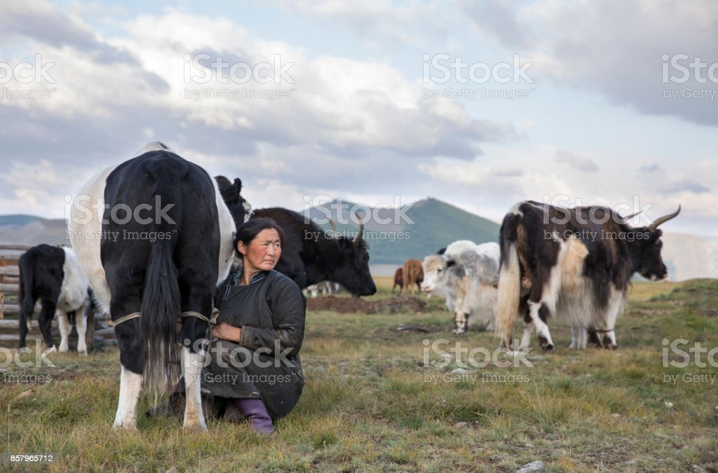 mongolian woman milking a cow stock photo