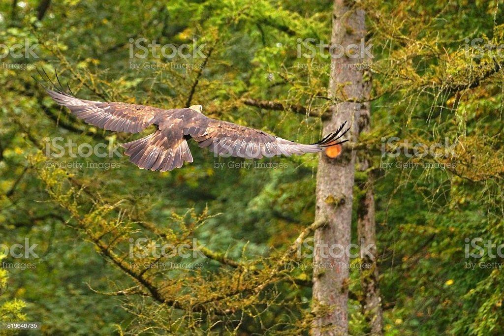 Mongolischer Steinadler stock photo