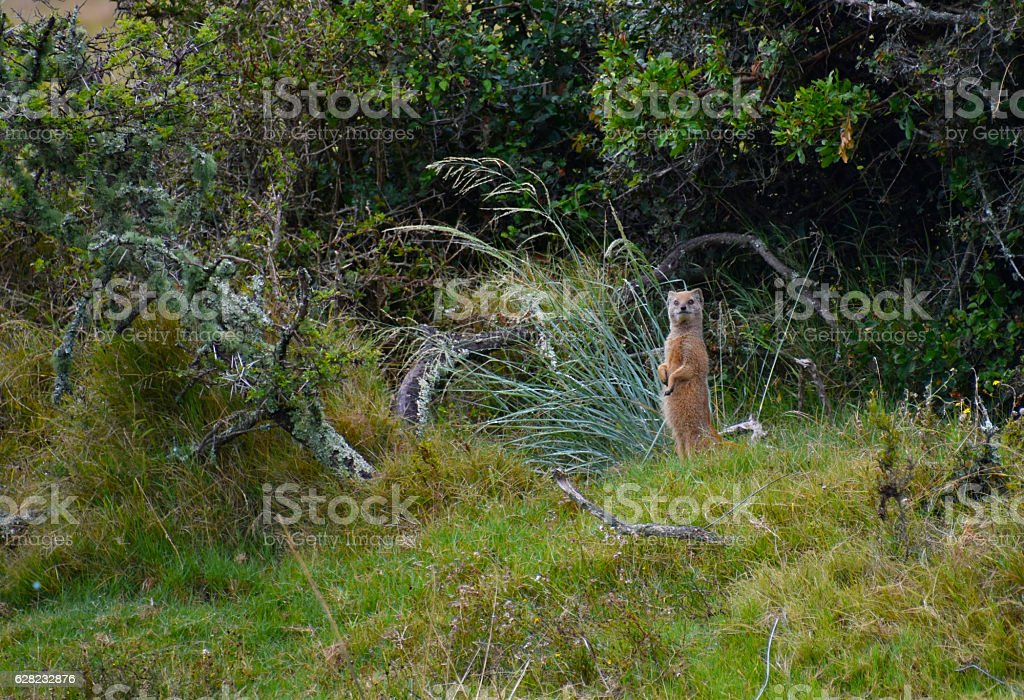 Mongoose in South Africa stock photo