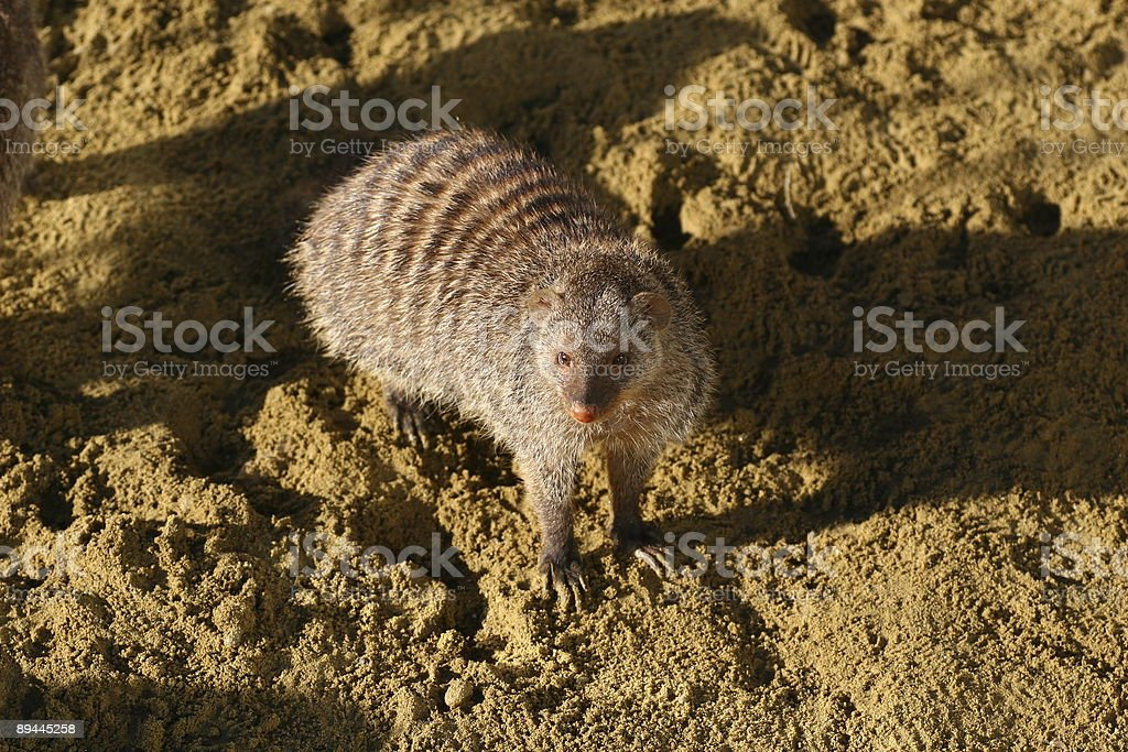 Mongoose royalty-free stock photo