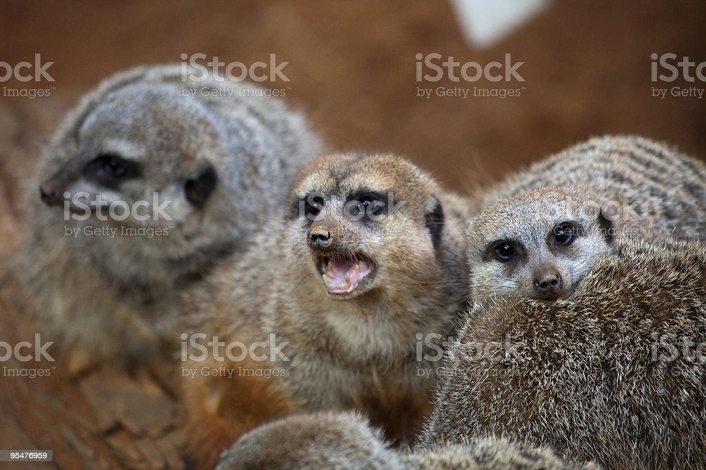 Mongoose royalty-free stock photo