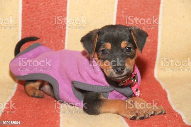 Mongrel dog puppy with clothes in his bucket picture id952088904?b=1&k=6&m=952088904&s=612x612&h=zy1iopbfa96zwhz5zcqnesowqitce kjfgvv8ydsjgm=