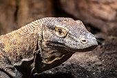 Monitor Lizard close up.