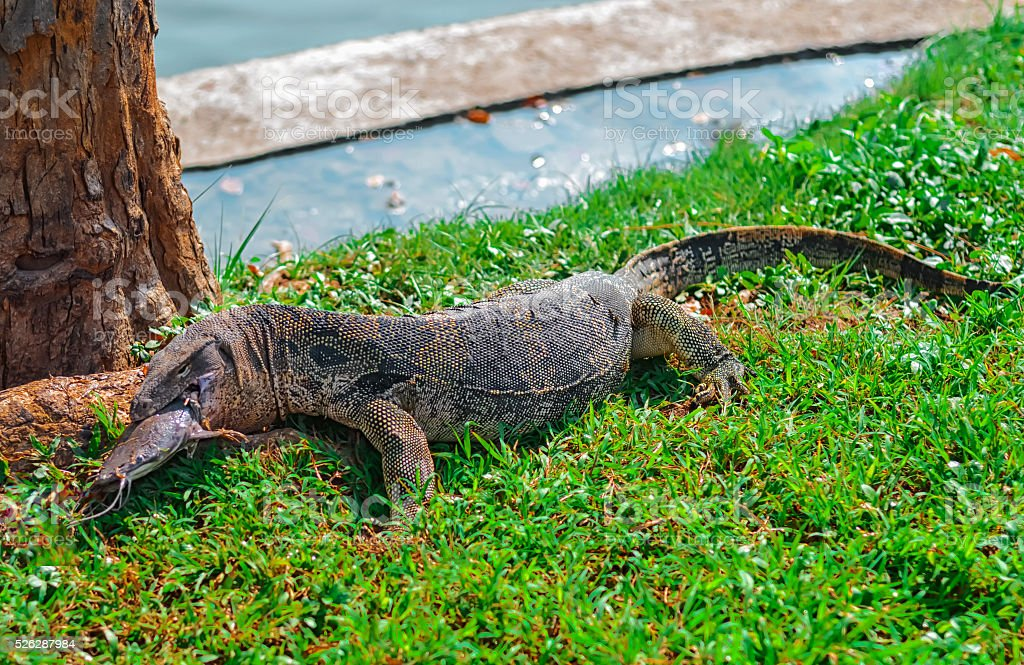 Monitor lizard eating catfish  in Lumphini Park in central Bangkok stock photo