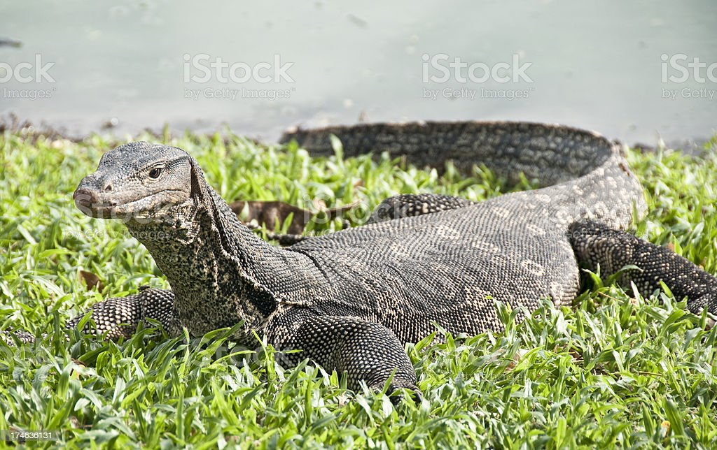 Monitor Lizard In Lumphini Park In Bangkok, Thailand stock photo