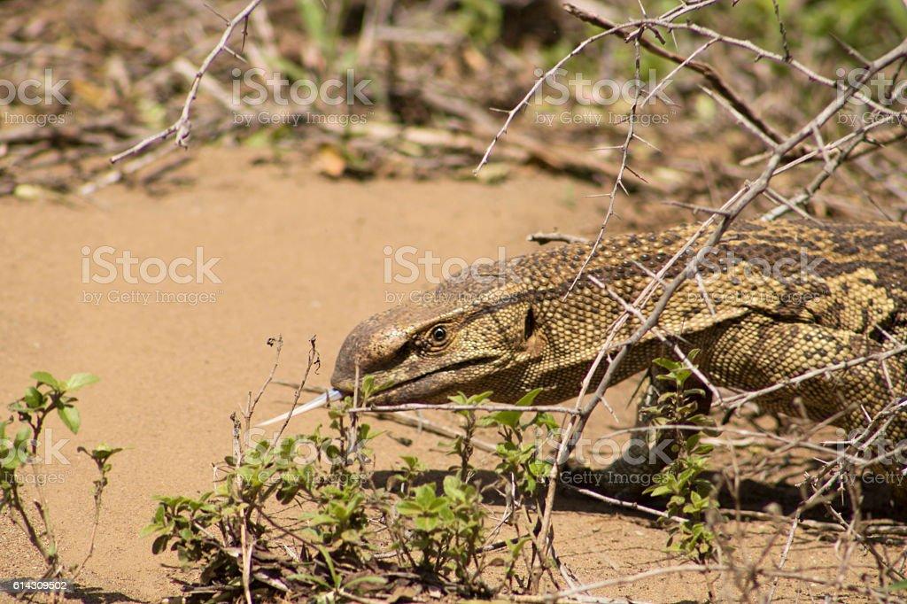 Monitor Lizard on the move. stock photo