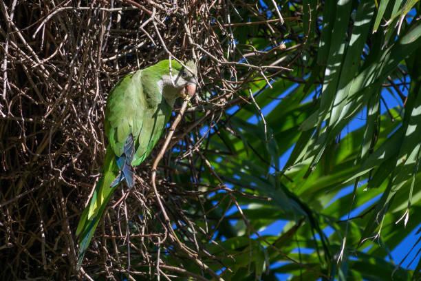 Mönch Parakeet Builidng ein Nest – Foto
