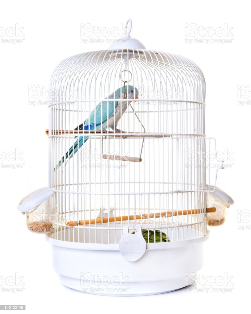 Monk parakeet in birdcage stock photo