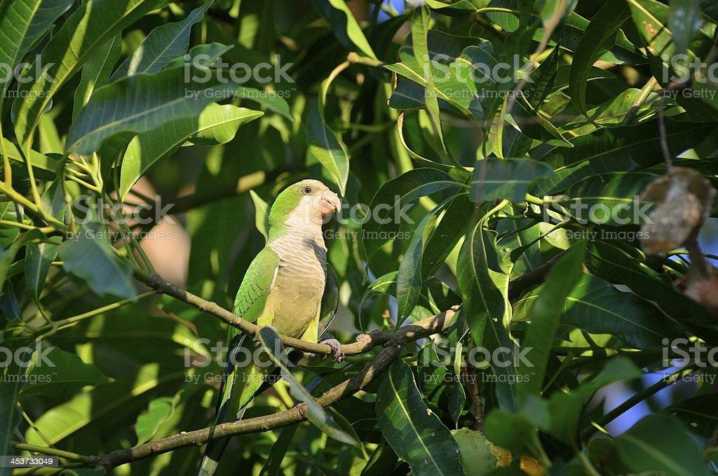Monk Parakeet In Pantanal royalty-free stock photo