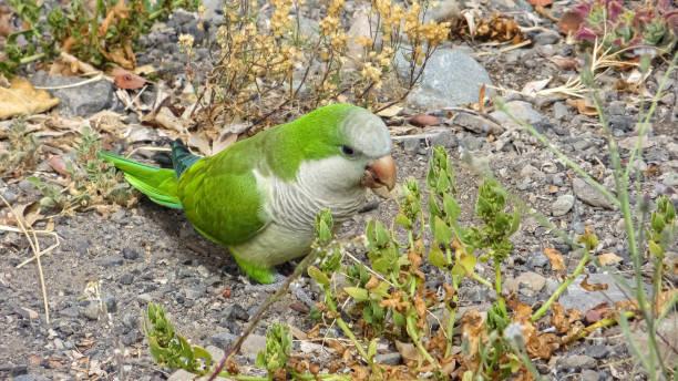 Monk Parakeet (Myiopsitta monachus) in the Canary Islands stock photo