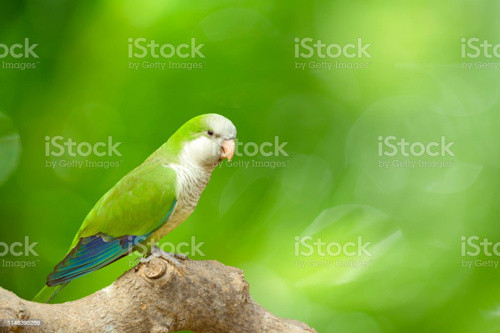 Monk Parakeet perching on branch in front of a vivid defocused green...
