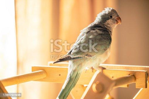 Monk parakeet play time.