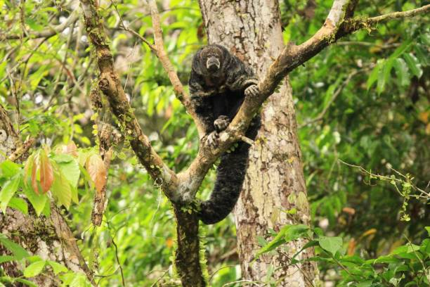 Monk Saki Monkey sitting in tree stock photo