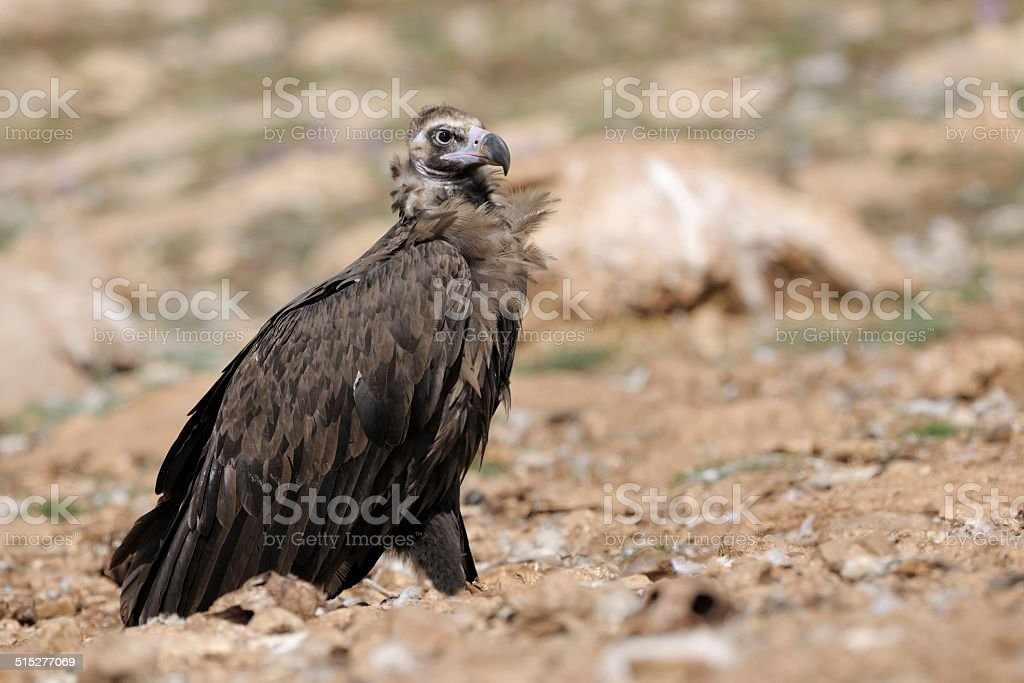 Monk vulture standing on ground. stock photo