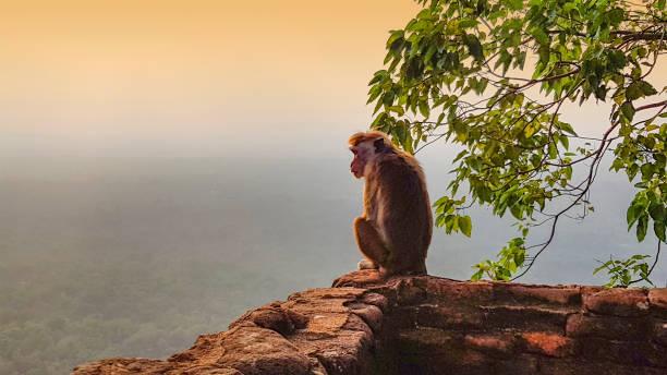 monkey and sundown stock photo