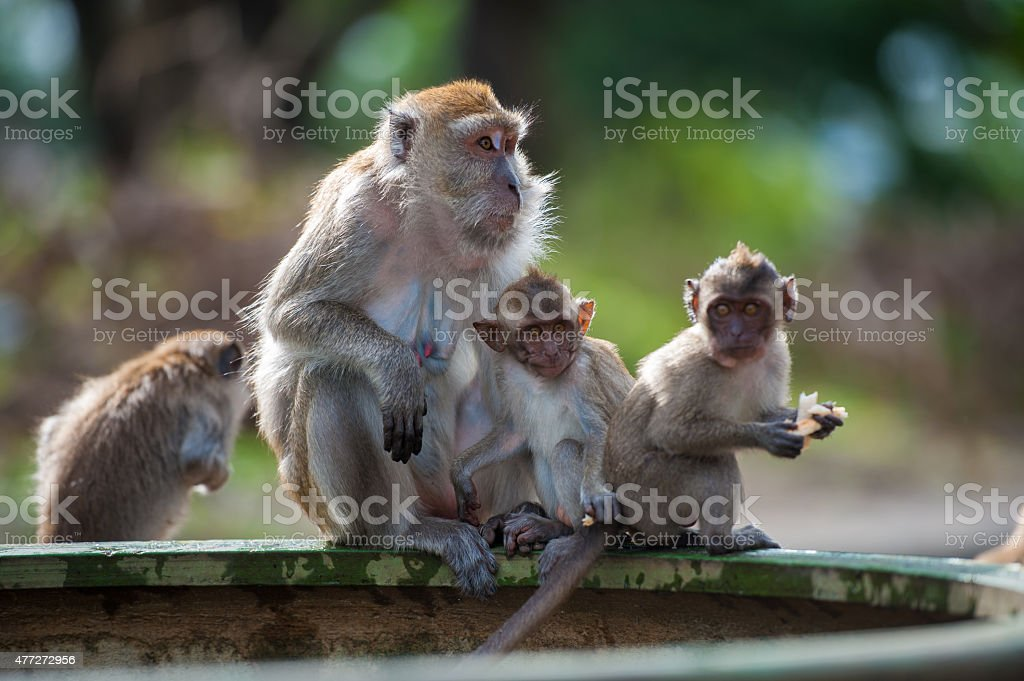 Monkey (crab-eating macaque) Asia Thailand stock photo