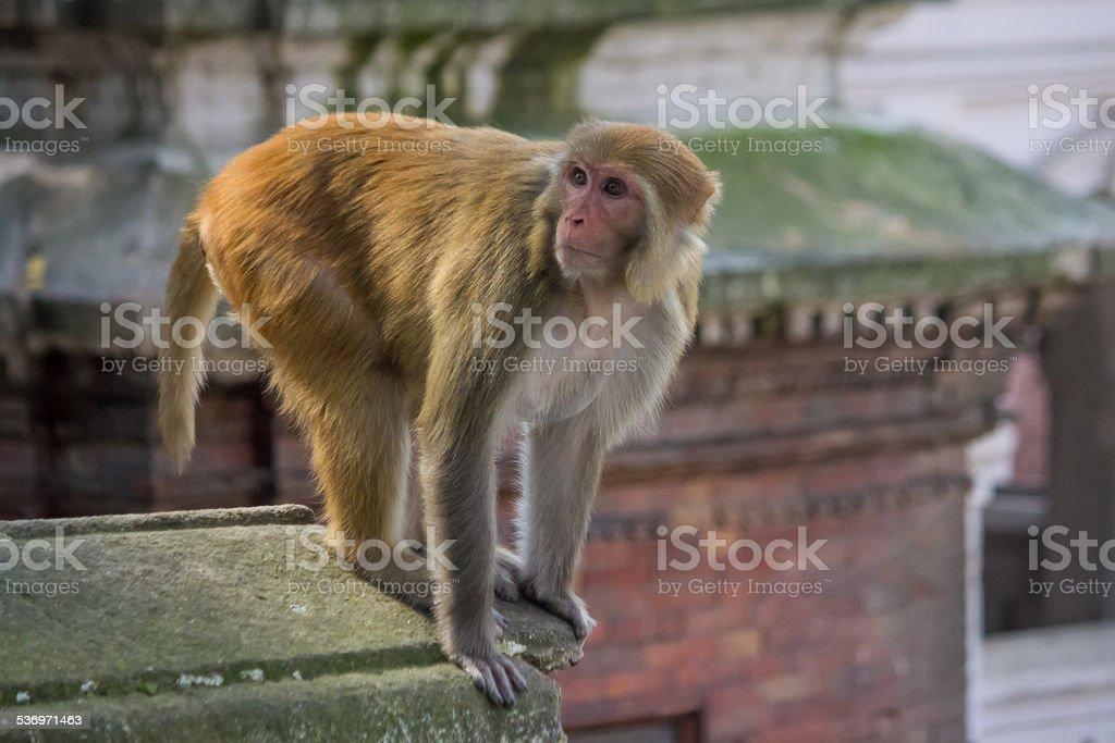 Monkey at a Hindu Temple in Kathmandu stock photo