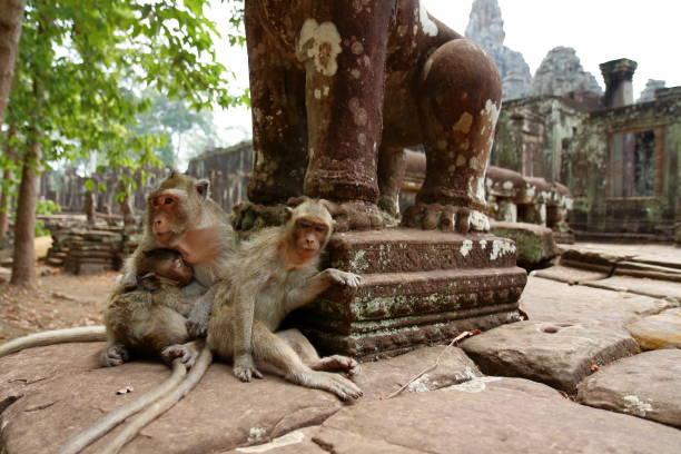 Monkey at Angkor site, Cambodia stock photo
