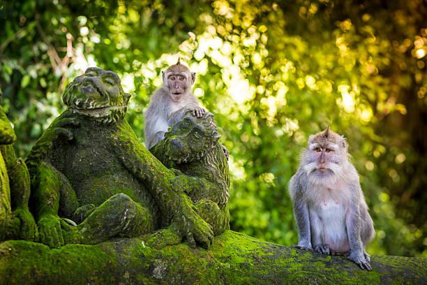 monkey at monkey forest - bali stockfoto's en -beelden