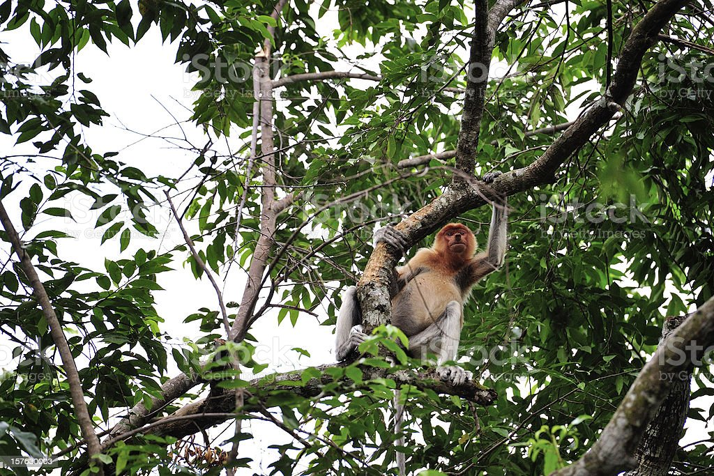 Monkey at Sabah, Malaysia royalty-free stock photo