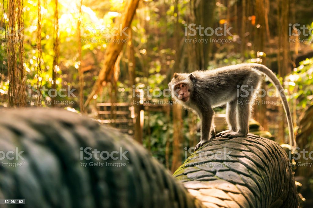 Aap bij de brug van de Dragon in de monkey forest​​​ foto
