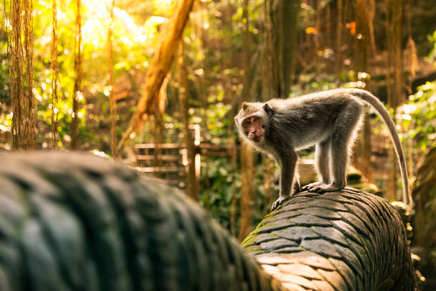 monkey at the dragon bridge in the monkey forest - monkey stock pictures, royalty-free photos & images