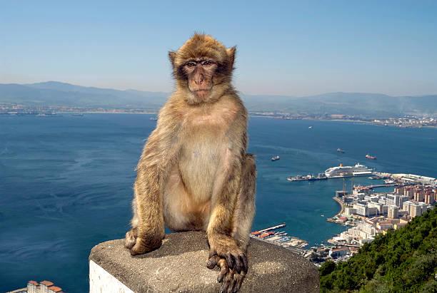 singe sur le rocher de gibraltar - singe magot photos et images de collection
