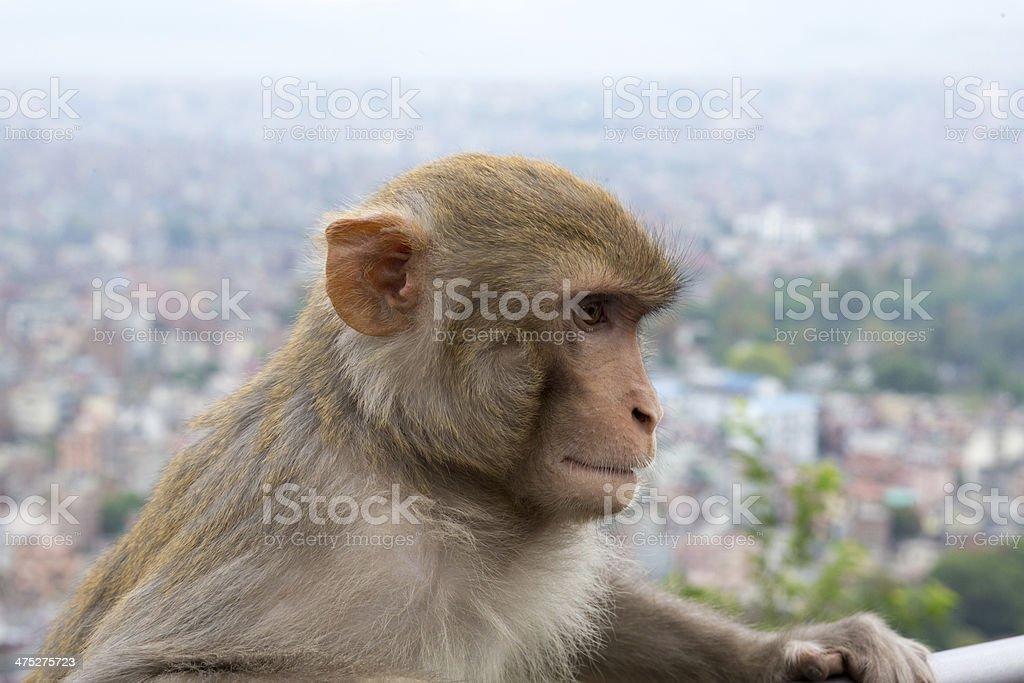 Monkey at the Swayambhunath temple in Nepal royalty-free stock photo