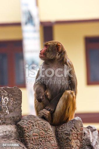 Macacus monkey living in the Swayambu Nath Temple, Kathmandu, Nepal