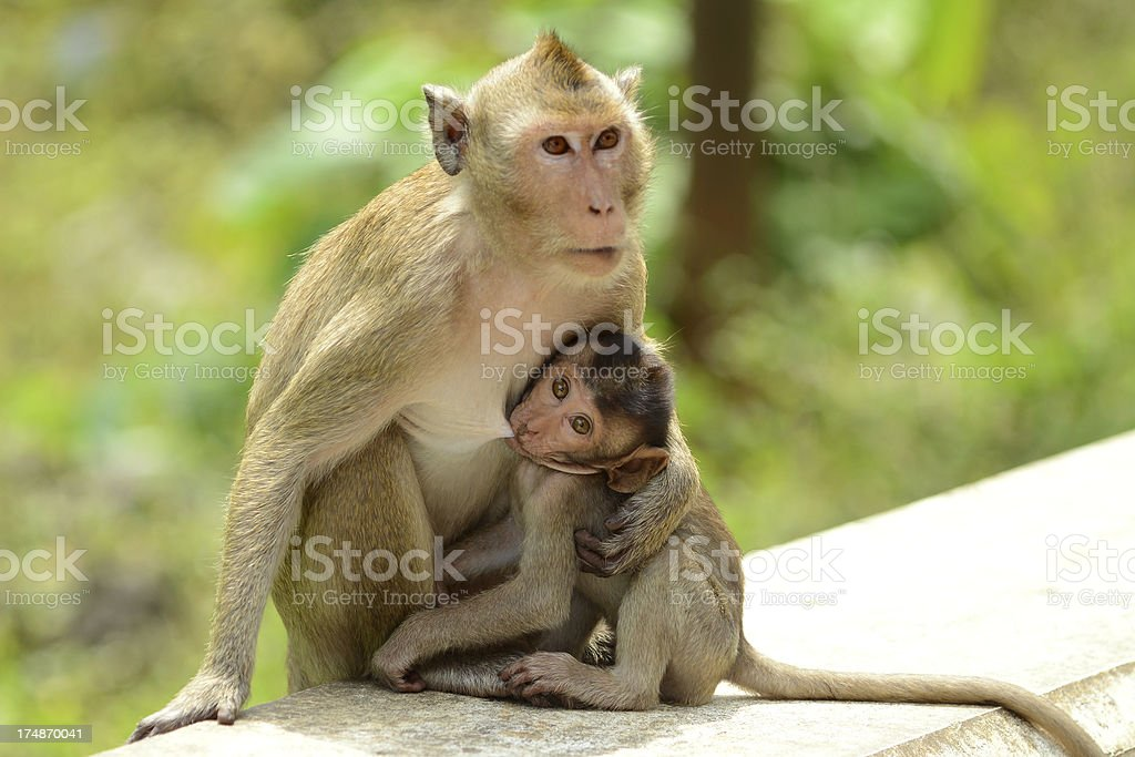 Monkey Baby and Mother Breastfeeding royalty-free stock photo