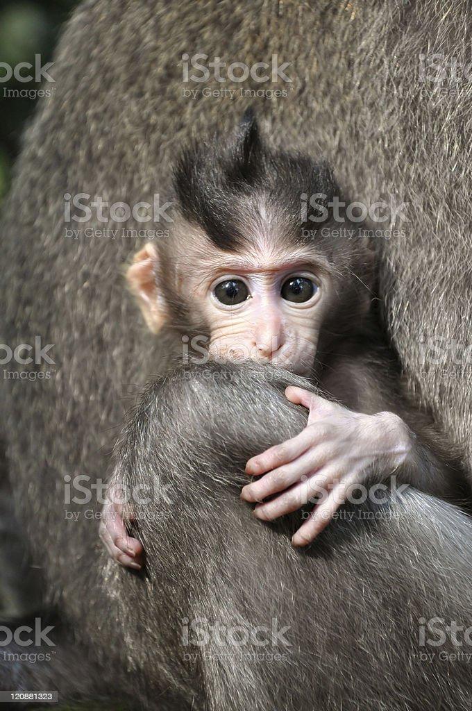 Monkey baby (Macaca fascicularis). Bali, Indonesia. royalty-free stock photo