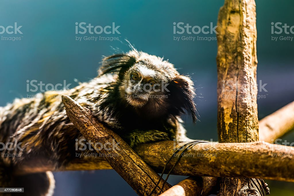 Monkey black-tufted marmoset stock photo