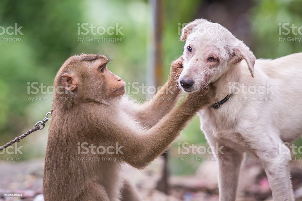 Monkey checking for fleas and ticks in the dog stock photo
