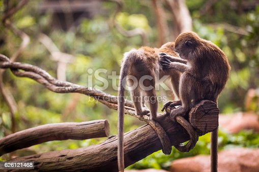 One monkey grooming and picking bugs on another monkey.