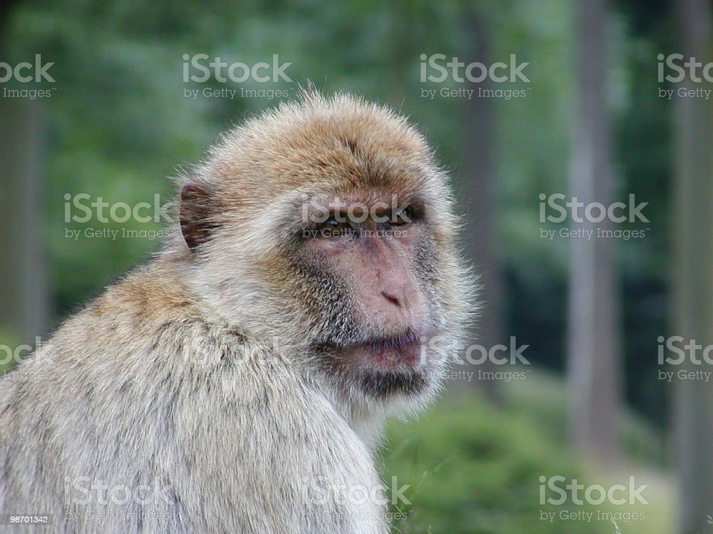 Monkey Contemplation royalty-free stock photo
