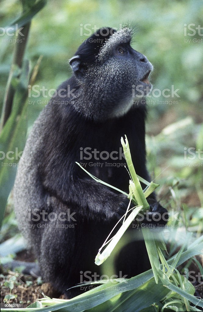Monkey Crop Raiding stock photo