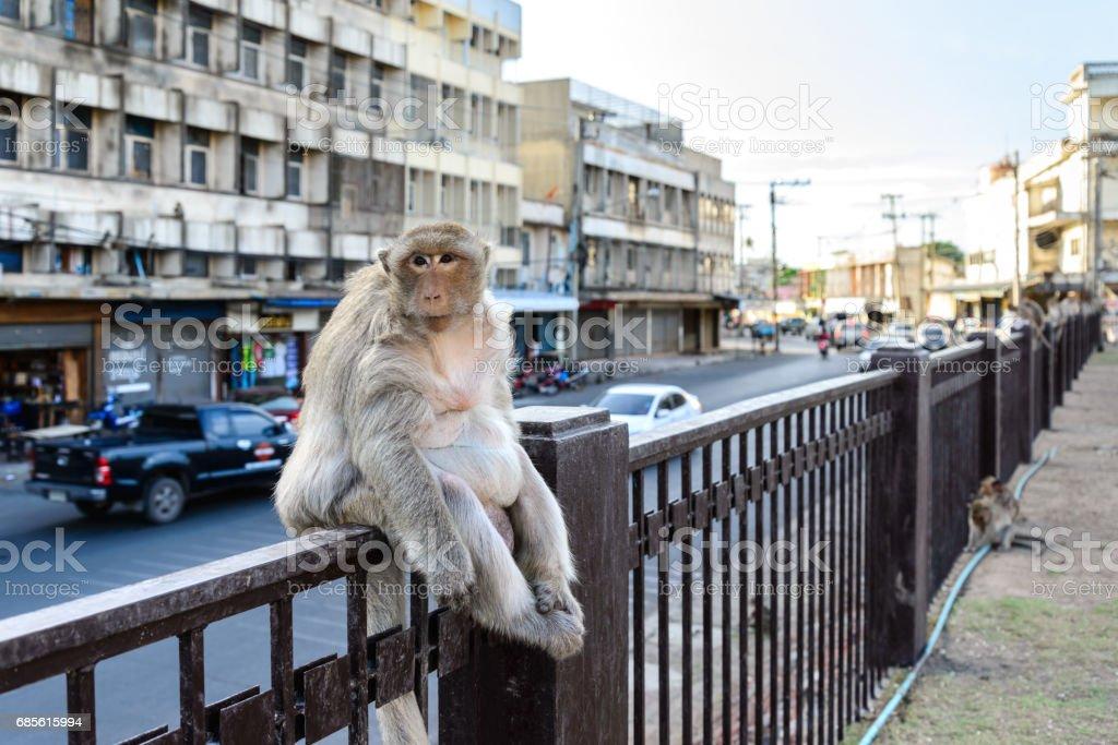 Monkey crowd sitting on fence in city.. foto de stock royalty-free