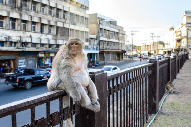 monkey crowd sitting on fence in city.. - macaco foto e immagini stock