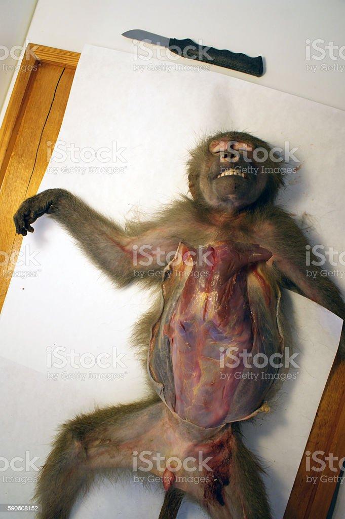 Monkey dissection - skin cut through stock photo