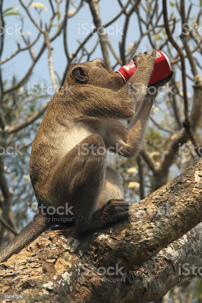 monkey drinking coke royalty-free stock photo
