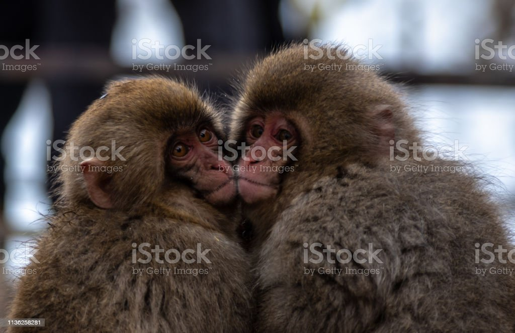 Monkey duo stock photo