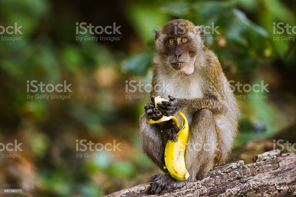 Monkey eating a banana stock photo