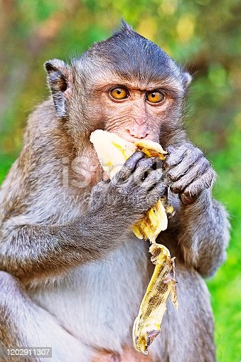 Monkey eating banana fruit.